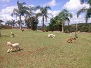 cães correndo no campo do hotel cachorro vila mariana