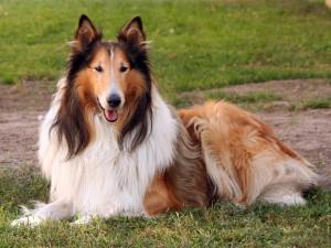 Dicas_de_raças_Lassie_Collie
