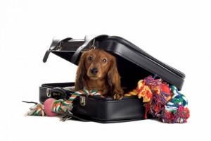cachorro escondido na mala para ir para hotel para cachorro