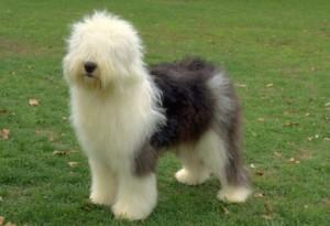 dicas_de_racas_sheepdog