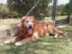 Cachorro grande do asilo para cachorros descansando na sombra