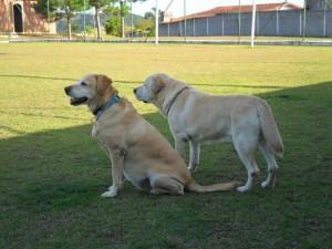 Dois cães descansando campo abrigo de cães