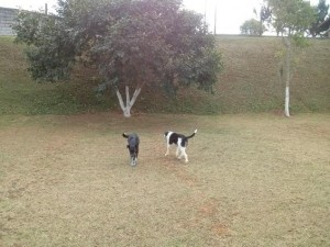 Cachorros andando no campo na doação de cães