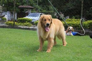 Golden no asilo para cachorros